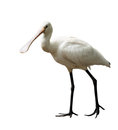 Eurasian spoonbill common platalea leucorodia on white background Stock Photography