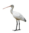 Eurasian spoonbill platalea leucorodia on white background Royalty Free Stock Photos
