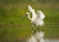 Eurasian Spoonbill, Rare White...