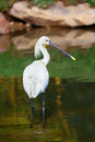 Eurasian spoonbill wading through the still water of a lake Royalty Free Stock Photo