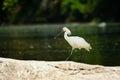 Eurasian spoonbill a walking across river rocks Stock Photography