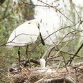 Eurasian spoonbill white bird platalea leucorodia with little birdie in nest Royalty Free Stock Image