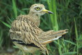 Eurasian stone-curlew Royalty Free Stock Images