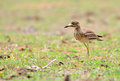 Eurasian Stone-curlew bird Stock Photo