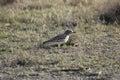 Eurasian stone-curlew Burhinus oedicnemus Royalty Free Stock Photo