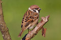 Eurasian Tree Sparrow Royalty Free Stock Image
