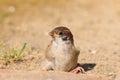 Eurasian tree sparrow juvnile passer montanus in japan Stock Photo