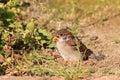 Eurasian tree sparrow juvnile passer montanus in japan Stock Images