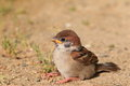 Eurasian tree sparrow juvnile passer montanus in japan Royalty Free Stock Image