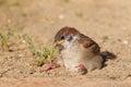 Eurasian tree sparrow juvnile passer montanus in japan Stock Photos