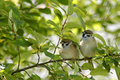 Eurasian Tree Sparrow,  Passer montanus Stock Photography