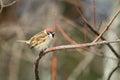 Eurasian tree sparrow passer montanus in japan Stock Photo