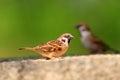 Eurasian tree sparrow passer montanus in japan Royalty Free Stock Photos