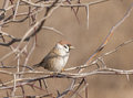 Eurasian tree sparrow passer montanus in a thorny bush Royalty Free Stock Images
