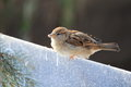Eurasian tree sparrow sitting on the edge of partition wall Stock Photo