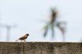 Eurasian Tree Sparrow walking on concrete wall Royalty Free Stock Photo