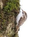 Eurasian Treecreeper (Certhia familiaris) Stock Images