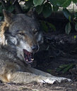 Eurasian wolf the canis iupus iupus also known as the common or forest Stock Images