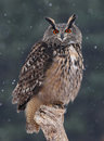 Eurasien regardant fixement Eagle Owl Image stock