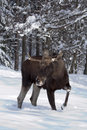 Europäische Elche (Elche) auf dem Schnee Lizenzfreies Stockfoto