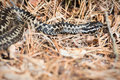 European adder or Vipera berus on forest floor Royalty Free Stock Photo