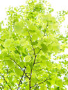 European aspen fresh green leaves of towards bright sky Royalty Free Stock Photos