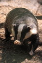 European badger Stock Images
