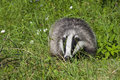 European badger meles meles in the grass Royalty Free Stock Photos