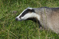 European badger meles meles in the grass Stock Images