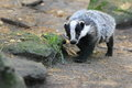 European badger the in the soil Royalty Free Stock Image