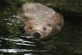 European beaver Royalty Free Stock Photo