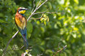European bee-eater Royalty Free Stock Photo