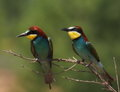 European bee eater merops apiaster Stock Images
