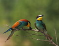 European bee eater merops apiaster Royalty Free Stock Photography