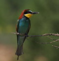 European bee eater merops apiaster Stock Photography