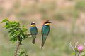 European bee eater (Merops Apiaster) Royalty Free Stock Photos