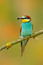 European Bee-eater, Merops apiaster, beautiful bird sitting on the branch with dragonfly in the bill. Action bird scene in the nat Royalty Free Stock Photo