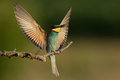 European bee eater merops apiaster with bee in beak landing dramatically in head on pose and raised wings on perch bulgaria june Stock Image