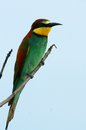European bee eater merops apiaster in kruger national park south africa Royalty Free Stock Photos