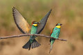European bee eater merops apiaster in natural habitat two individuals sitting on twig one throwing captured dragonfly Royalty Free Stock Photo