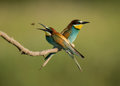 European bee eater merops apiaster pair perched on branch two birds bulgaria Royalty Free Stock Photo