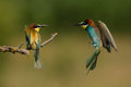 European bee eater merops apiaster pair sharing branch in bulgaria Stock Image