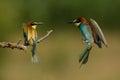 European bee eater merops apiaster pair sharing branch in bulgaria Stock Image
