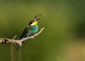 European bee eater merops apiaster perched on branch with in bulgaria Stock Photography