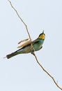 European bee eater pearched on a branch the is migratory bird in family Royalty Free Stock Photography