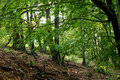 European beech forest Stock Images