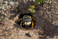 European Beewolf wasp (Philanthus triangulum) exiting its burrow Royalty Free Stock Photo