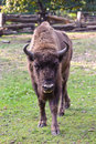 European bison (bison bonasus) Stock Photography