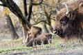 European bison bison bonasus graze in the wild or wisent Stock Photo