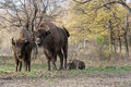European bison bison bonasus living in autumn deciduous forest wild or wisent Royalty Free Stock Image